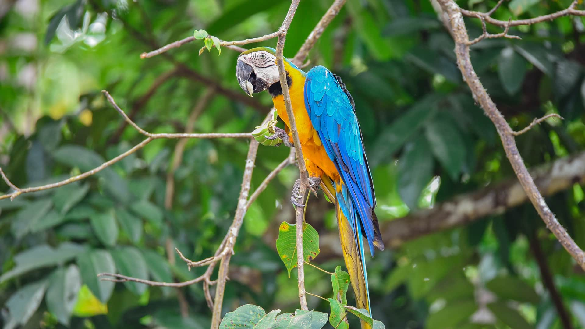 11Blue and yellow macaw perching on exposed branch | Responsible Travel Peru