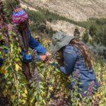 Quinoa field | Responsible Travel Peru