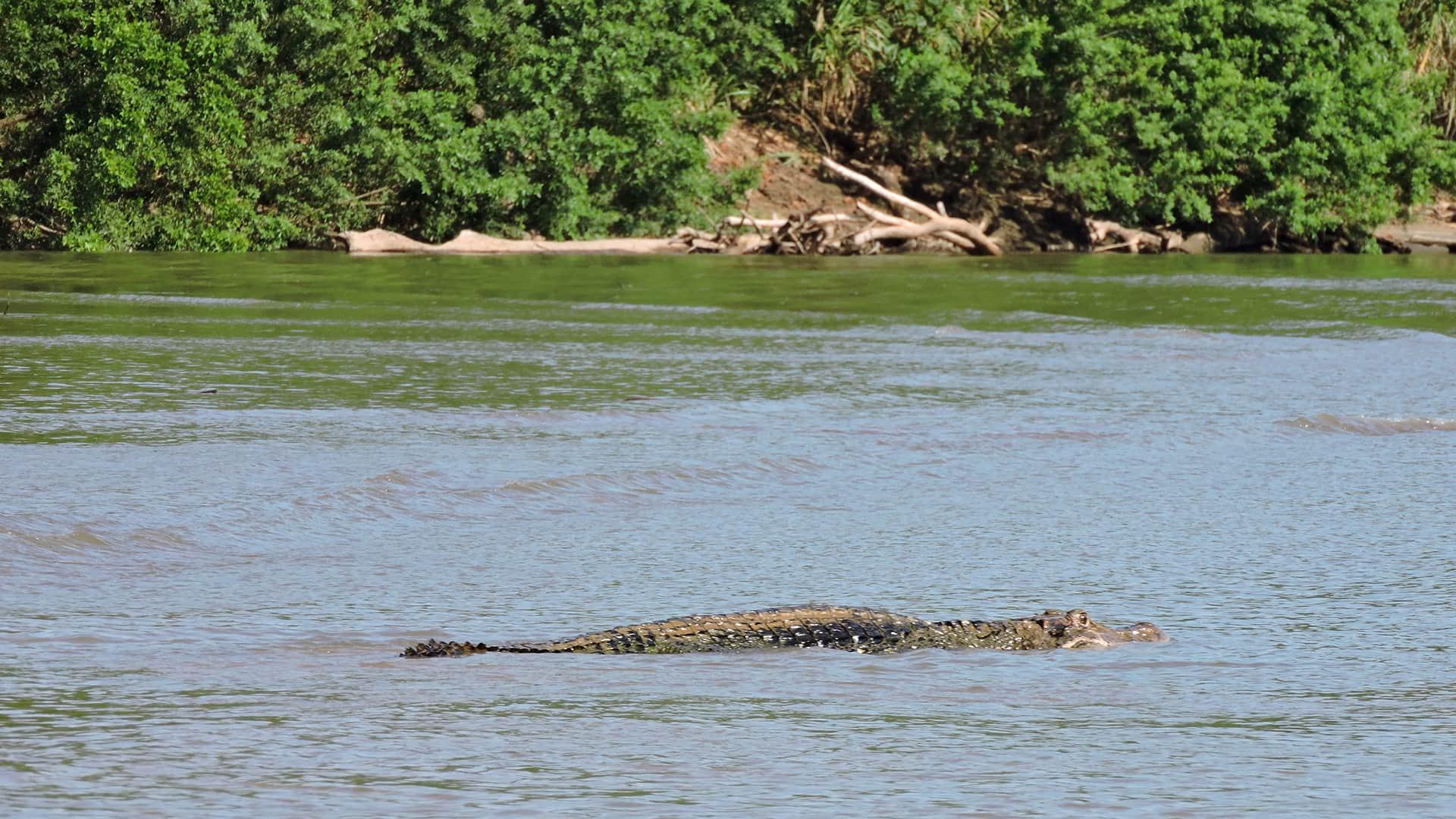 11caiman swimming in the river | Responsible Travel Peru