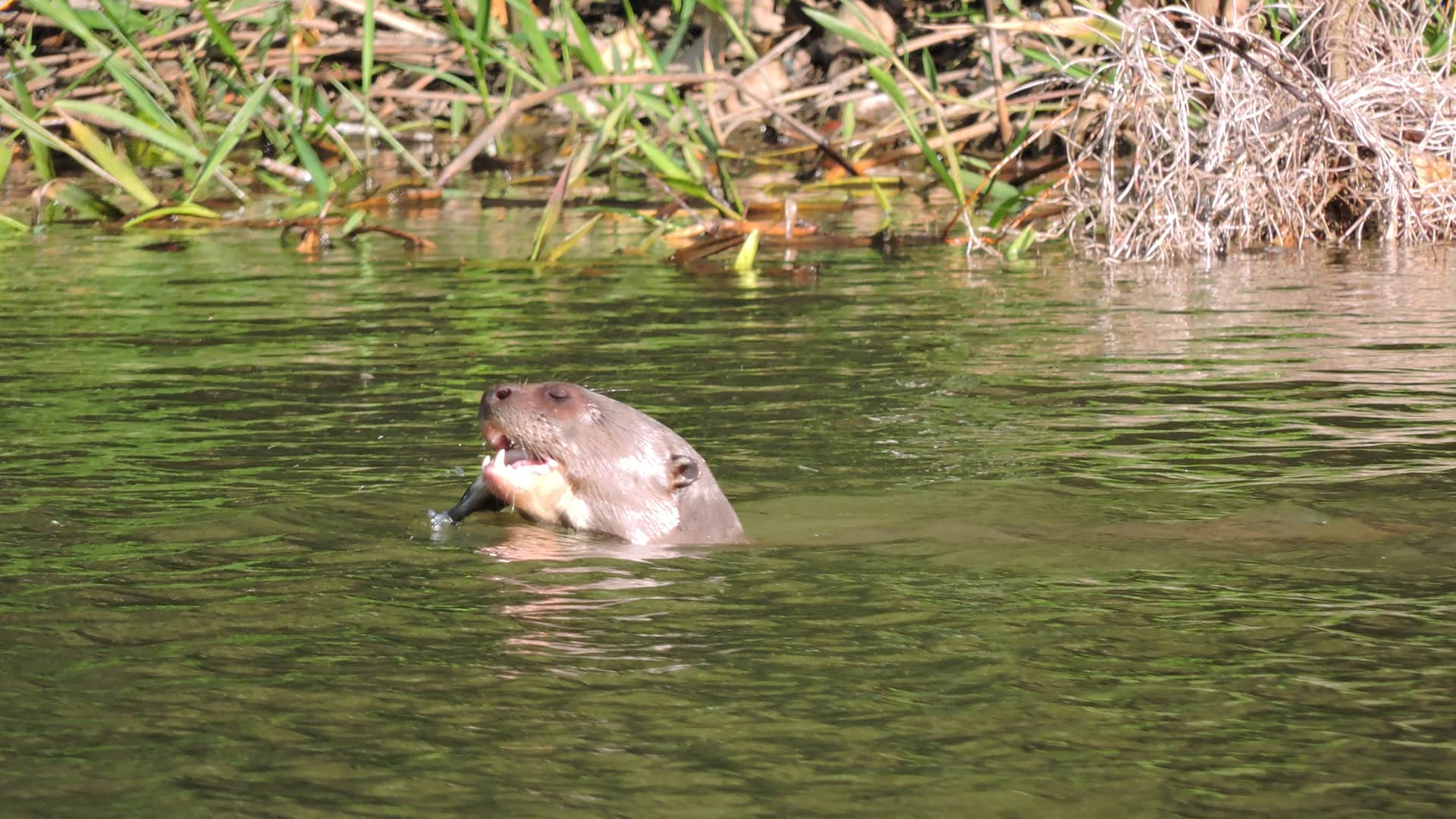 11Otter hunting for lunch | Responsible Travel Peru