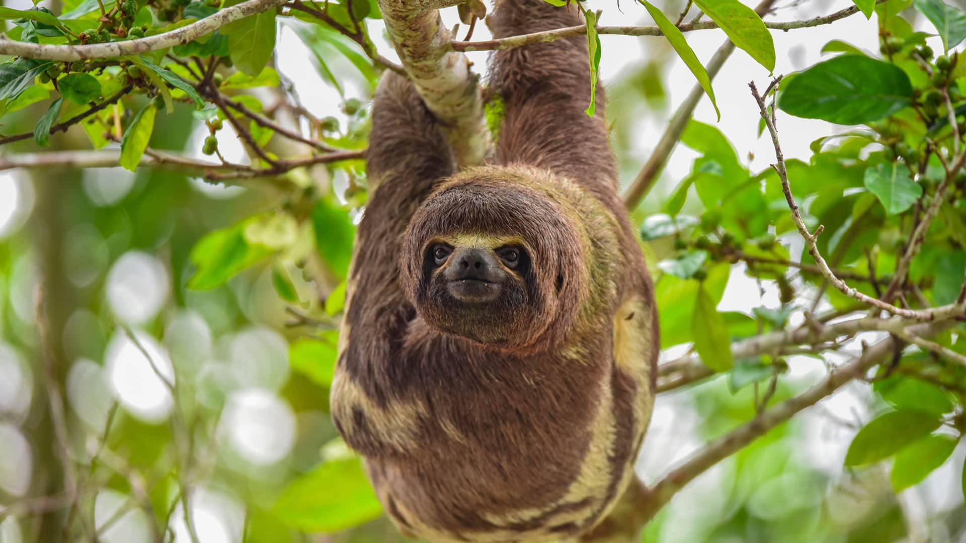 11Sloth hanging upside down from a branch  Responsible Travel Peru