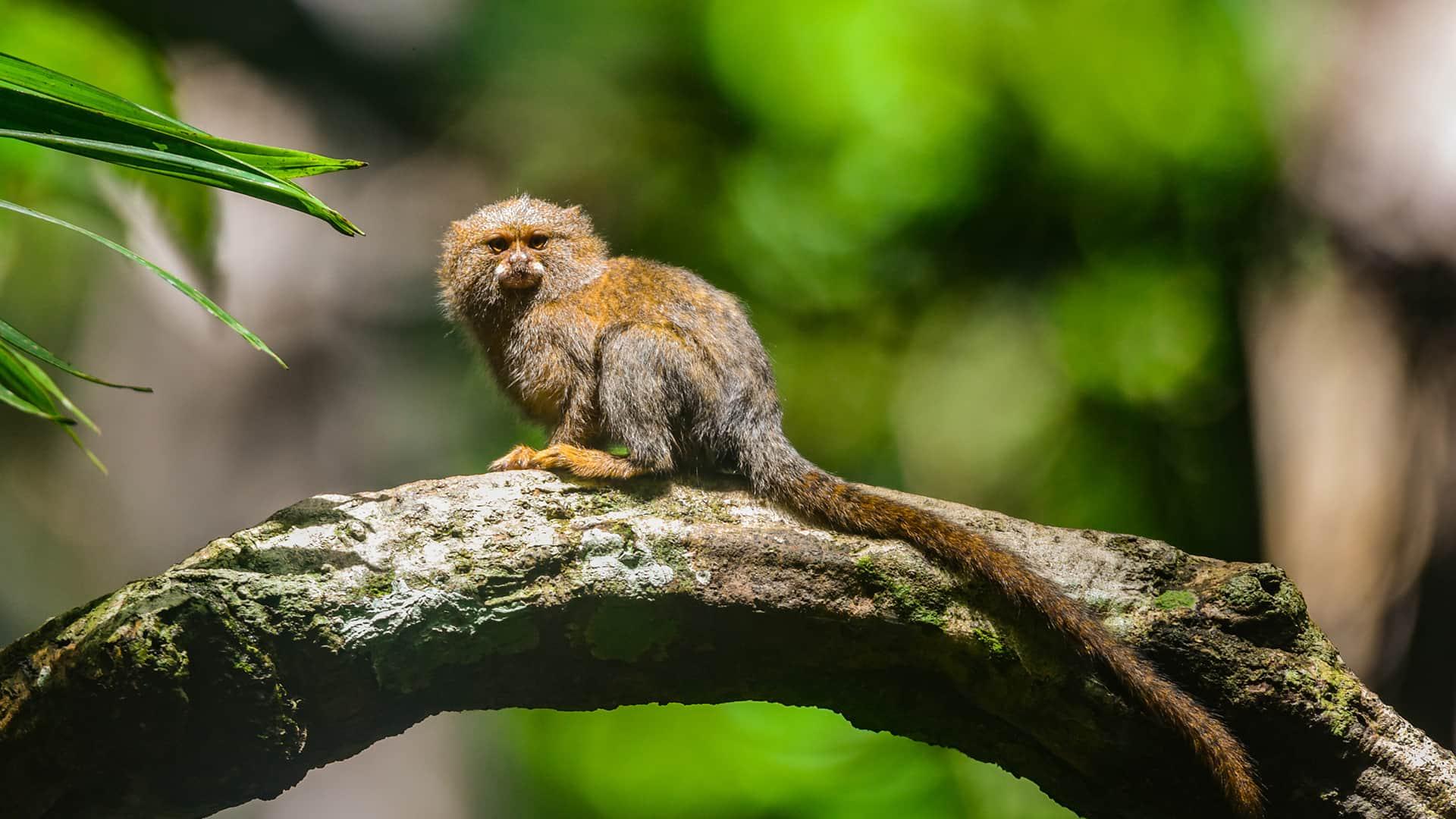 11Fully visible Pigmy marmoset on horizontal branch | Responsible Travel Peru