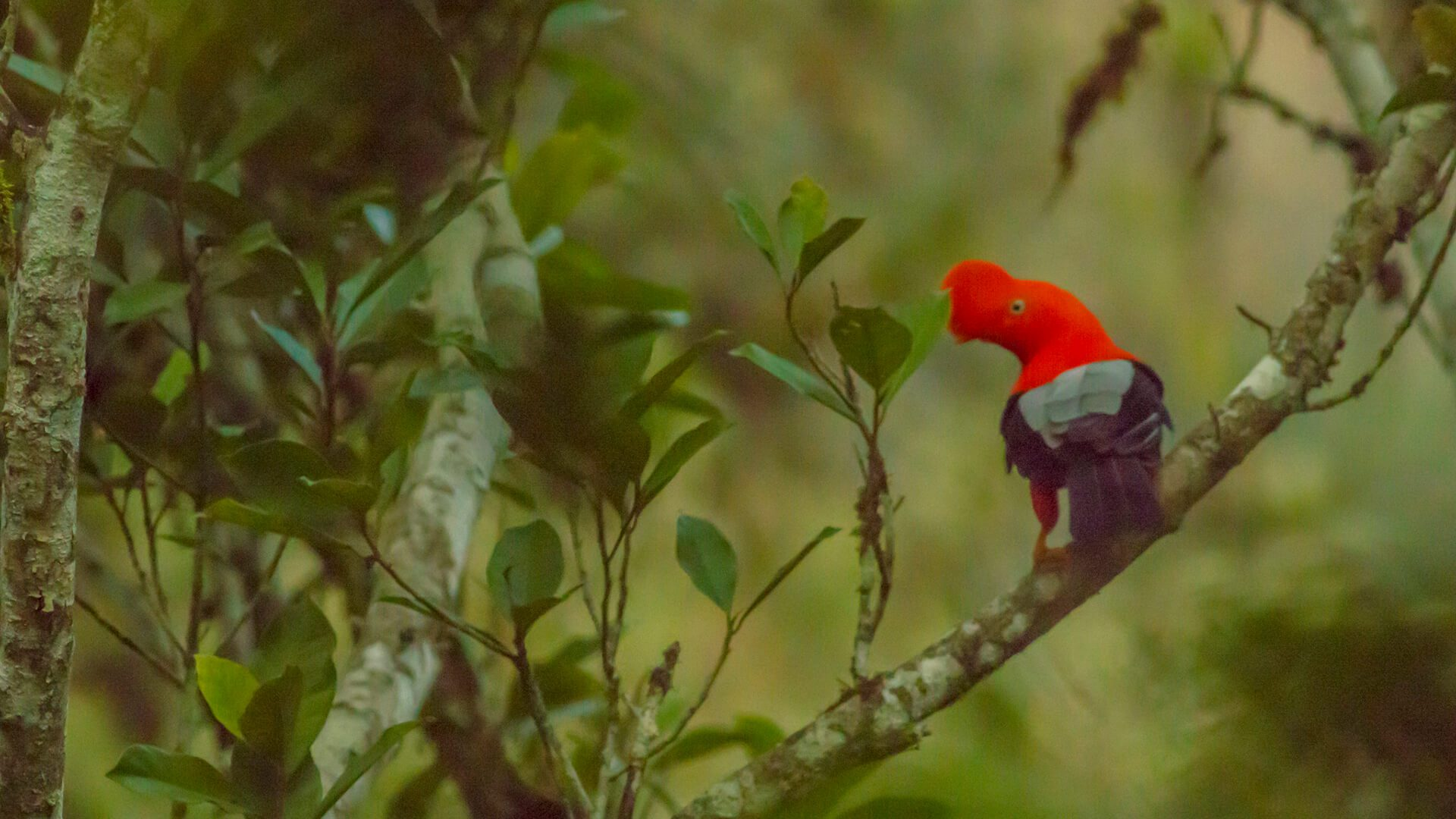 Bright orange, black and gray colors of the Cock of the Rock contrasting with green lush jungle   Responsible Travel Peru