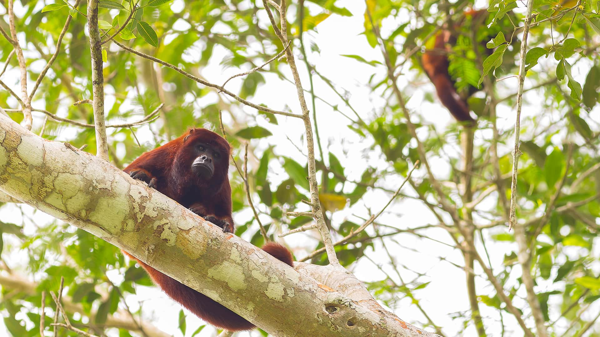Howler monkeys up in the canopy of Manu rainforest   Responsible Travel Peru