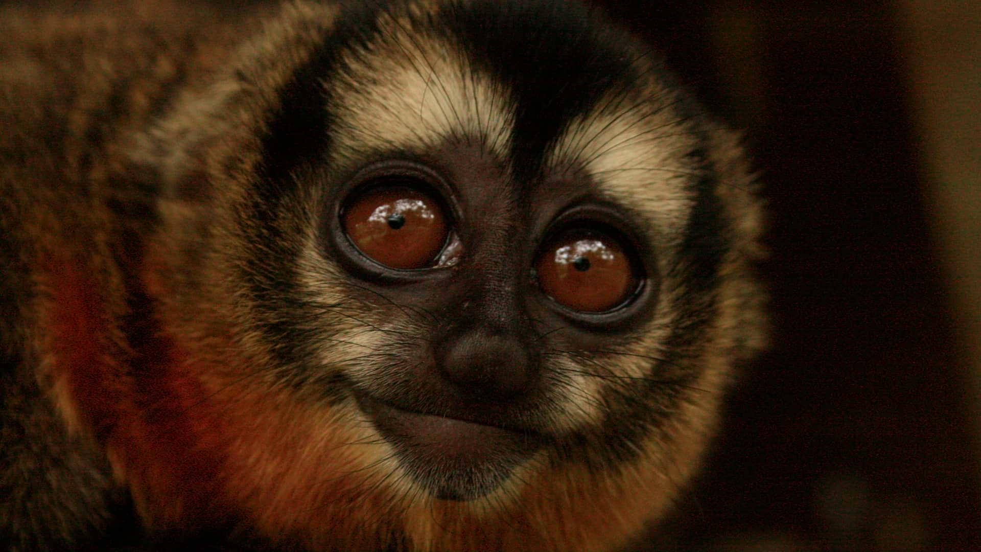 Close up of a Night Monkey in Manu   Responsible Travel Peru